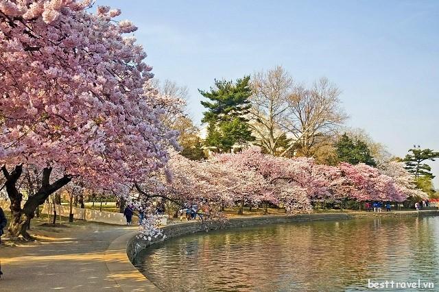 Mách cho bạn những điểm ngắm hoa anh đào tuyệt đẹp ở Washington DC